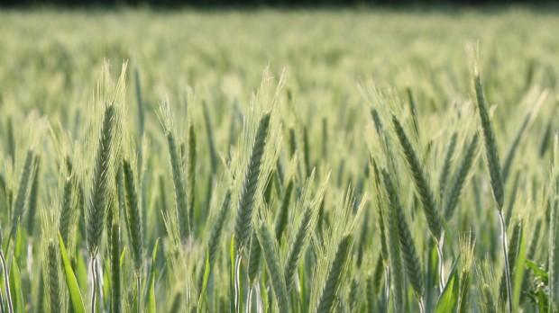KOMMENTAR: Klimaplanen? Håbløs. Landbruget bliver skræmt til udlandet, hvor det vil udlede mere CO2